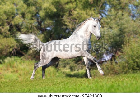 arabian horse runs free in summer field - stock photo