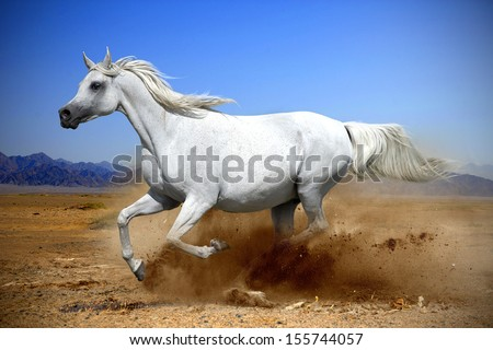 arabian horse runs gallop in the dust desert  - stock photo