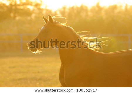 Arabian horse silhouette in sunset runs gallop - stock photo