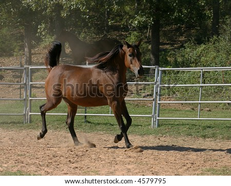 Arabian horse trotting in arena - stock photo