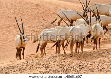 Arabian Oryx in a desert - stock photo