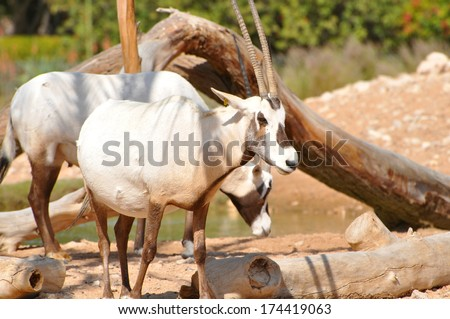 Arabian Oryx in its natural habitat - stock photo