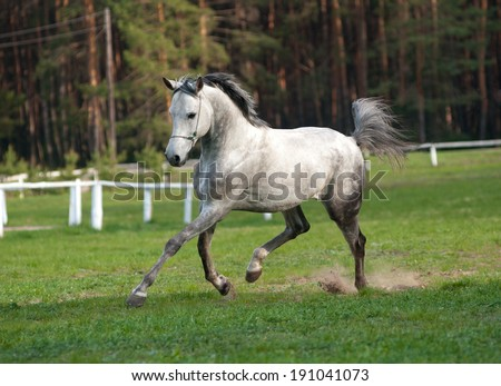 arabian stallion - stock photo