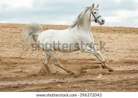 Arabian stallion running at a sea beach. - stock photo