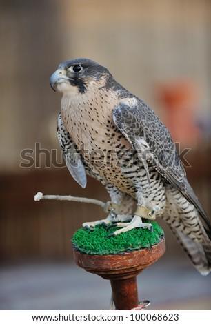 arabic bird falcon predator with sharp vision - stock photo