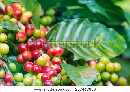Arabica coffee berries getting ripe on its tree in farm - stock photo