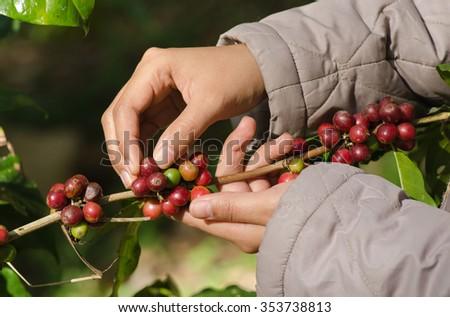 arabica coffee berries on hands - stock photo