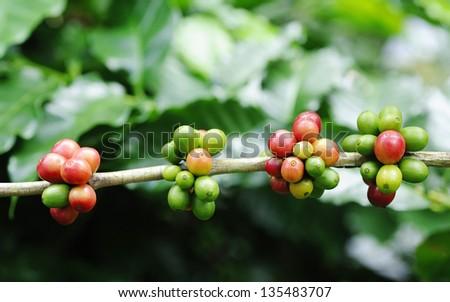 Arabica Coffee - Coffee beans on trees - stock photo