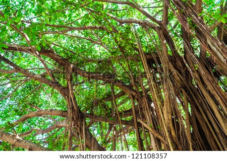Arbor of old banyan tree - stock photo