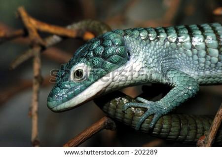 Arboreal Alligator Lizard in profile - stock photo