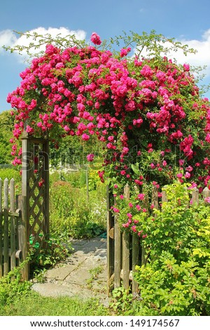 arched entrance with rambler rose, full bloom - stock photo