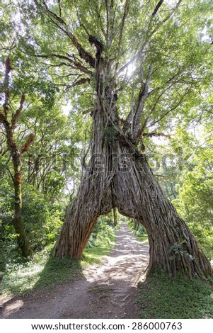 Arched fig tree on Mt Meru in Tanzania, Africa. - stock photo