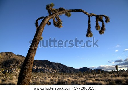 Arched over Joshua tree, close up, in sky - stock photo