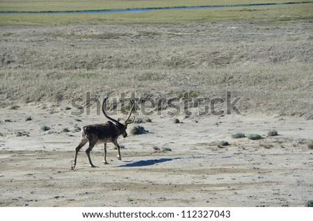 Arctic caribou - stock photo
