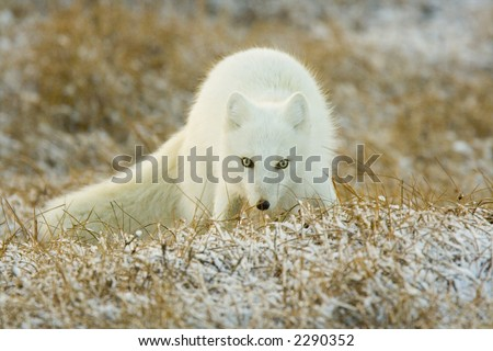 Arctic Fox - stock photo