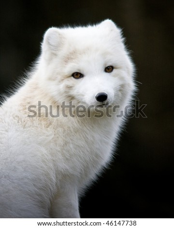 Arctic fox - stock photo