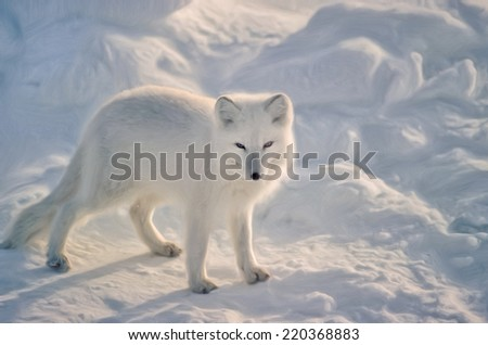 Arctic fox in Canadian Arctic - stock photo