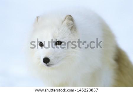 Arctic Fox in snow close-up - stock photo