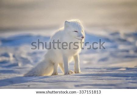 Arctic fox in winter white fur coat standing on Canadian snow,photo art - stock photo