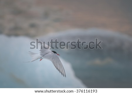 Arctic tern flying over the icebergs of the glacial river lagoon in Jokulsarlon, Southeast Iceland - stock photo