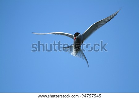 Arctic Tern (Sterna paradisaea) hunting for food at Myvatn in northern Iceland - stock photo