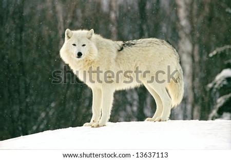 arctic wolf in snow (rehab) - stock photo