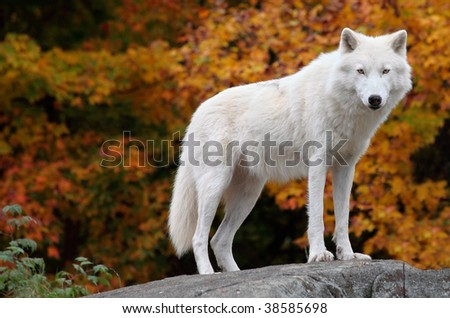 Arctic Wolf Looking at the Camera on a Fall Day - stock photo