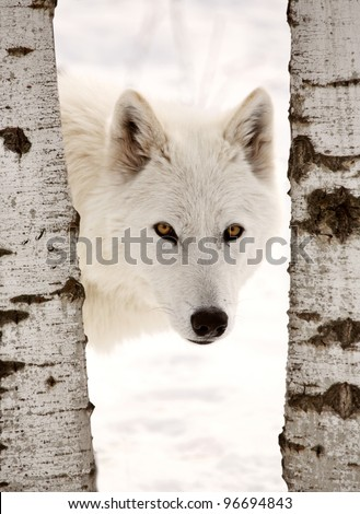 Arctic Wolf seen between two trees in winter - stock photo