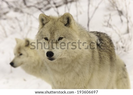 Arctic Wolves - stock photo