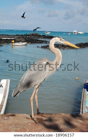 Ardea herodias, the largest North American heron, at Port Ayora, Santa Cruz Island of Galapagos. A wading bird in the heron family, common in Galapagos Islands. - stock photo