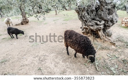 Area in the Serra de Tramuntana mountains on Majorca Island Spain  Sheep grazing around old olive trees near Valldemossa popular for hiking tours and tourism - stock photo