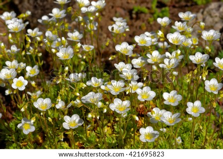Arenaria montana, the mountain sandwort, is a species of flowering plant in the family Caryophyllaceae. - stock photo