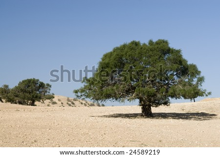 Argan tree (Argania spinosa) in the desert - stock photo