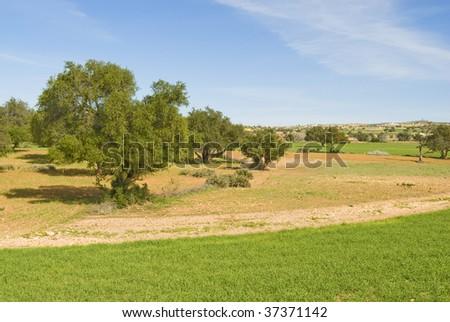 Argan trees in Morocco - stock photo