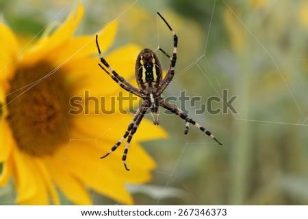 Argiope bruennichi / Wasp spider on web. Close-up. - stock photo