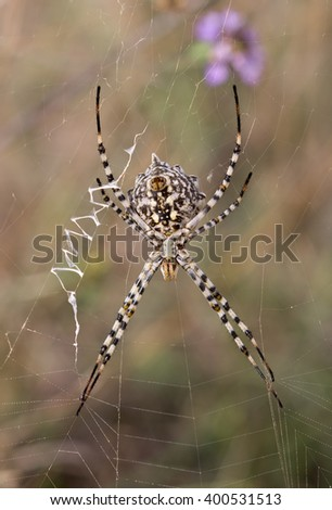 Argiope lobata, a orb-weaver spider (female) - stock photo