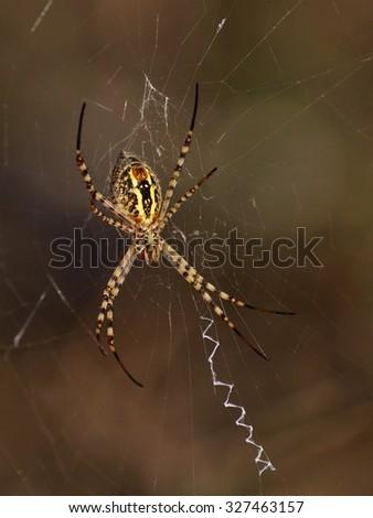 Argiope on cobweb - stock photo