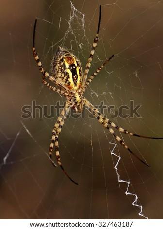 Argiope spider  - stock photo