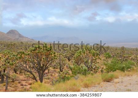 Arizona desert landscape with Joshua trees, USA. - stock photo