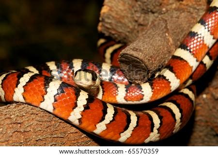 Arizona Mountain King Snake-Lampropeltic pyromelana, coiled on a tree branch. - stock photo