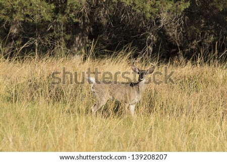 Arizona White-tailed buck in Meadow - stock photo
