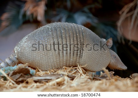 Armadillo searching for food at night - stock photo