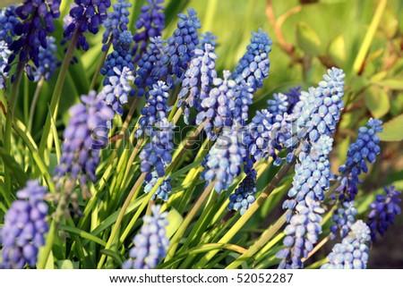 Armenian Grape hyacinth - stock photo