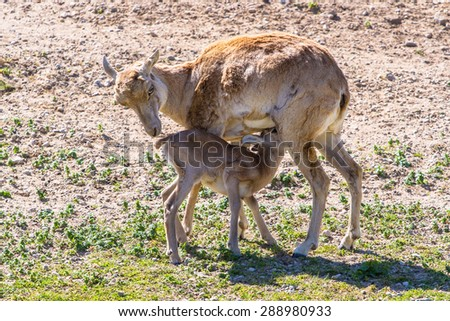 Armenian mouflon cub feeding - stock photo