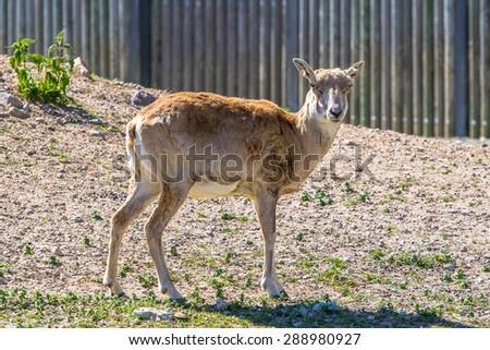 Armenian mouflon posing - stock photo