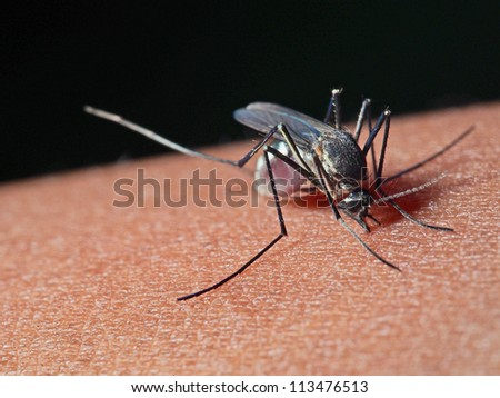Armigeres subalbatus mosquito feeding on human. - stock photo