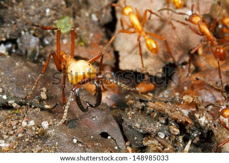 Army ant soldier with big mandibles - stock photo
