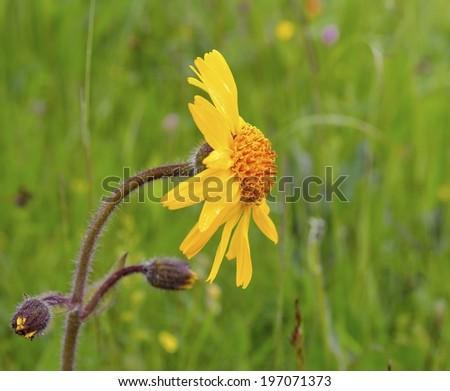 Arnica (Arnica montana) - stock photo