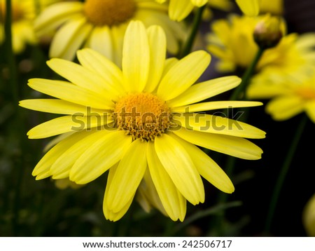 Arnica montana, European flowering plant used in herbal medicine - stock photo
