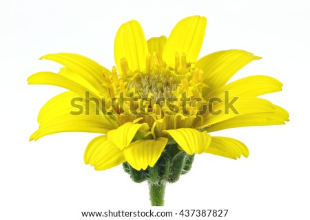 arnica montana flower head against white background - stock photo